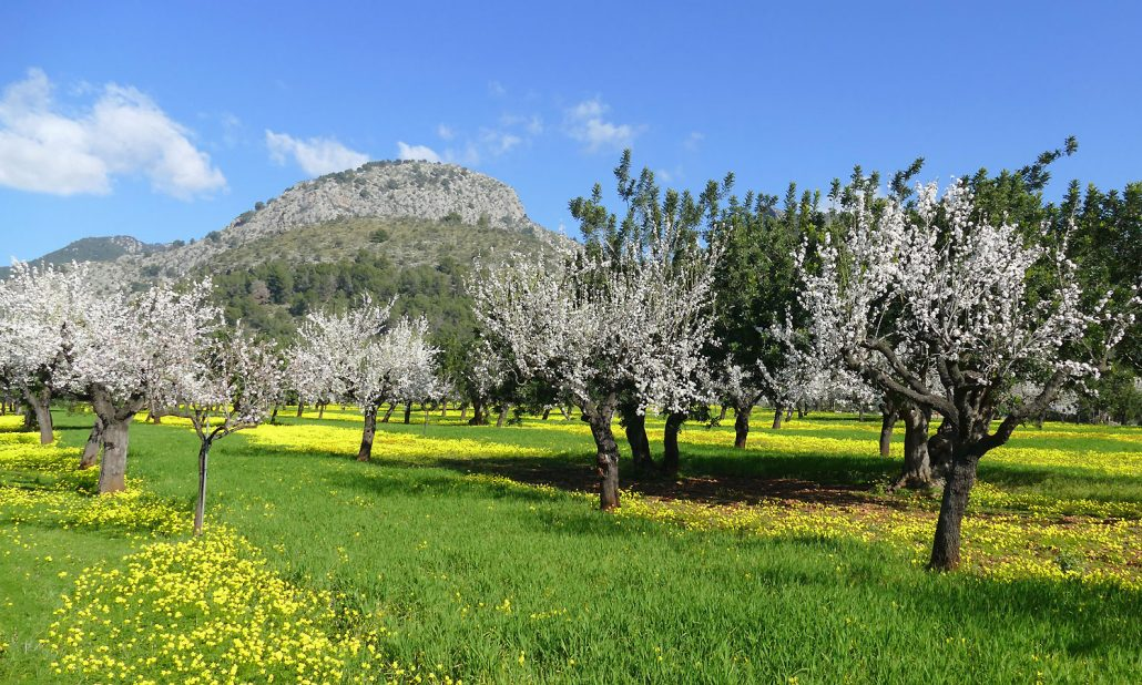otto-photo-Mallorca-Bunyola Mandelblüte