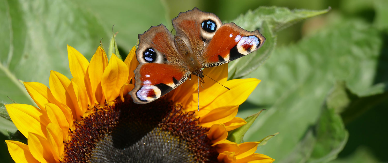 Schmetterling-auf-Sonnenblume Makrofotografie